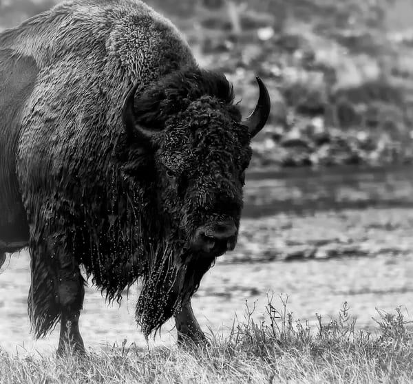 "Bison Black and White Version of ""All Wet"""