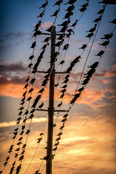 Birds on the Wires photograph for sale as Fine Art