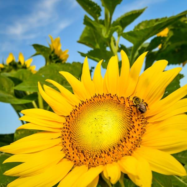 Sun Flower photograph for sale as Fine Art