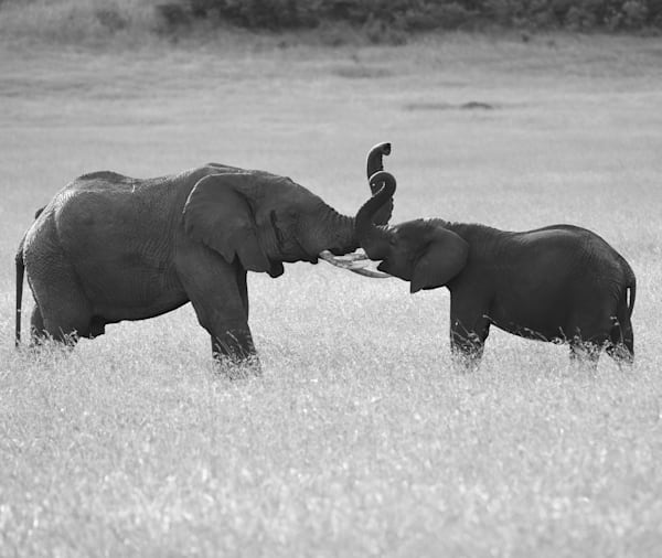 Elephant's Raising Trunks Photography Art | Brian Ross Photography