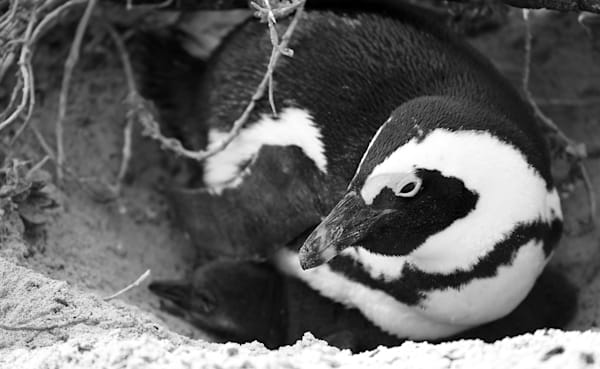 Penguin Mother In Nest Photography Art by Brian Ross Photography