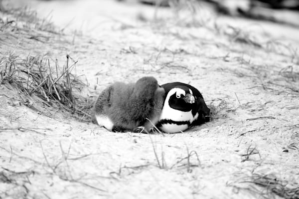 Penguin Duo On Sand Photography Art | Brian Ross Photography