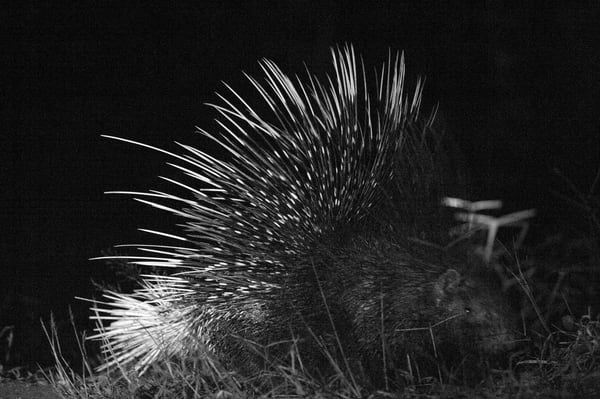 Porcupine Ii Photography Art | Brian Ross Photography