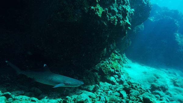 WT Shark