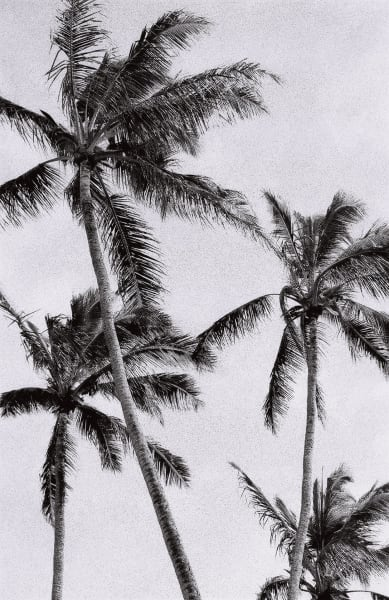 Palms Iv Photography Art | Brian Ross Photography