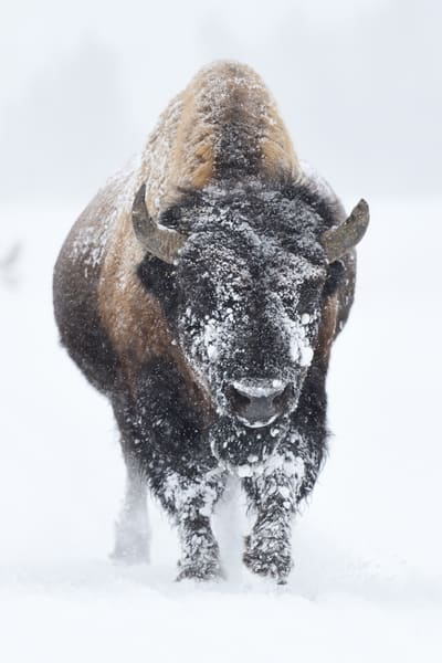Winter Bison - Wyoming Wildlife Photographs - Yellowstone Buffalo - Fine Art Prints on Metal, Canvas, Paper & More By Kevin Odette Photography