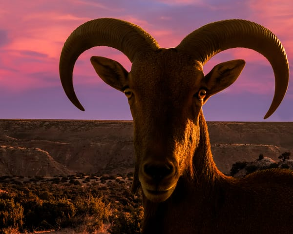 Doves Rest Aoudad in Palo Duro Canyon