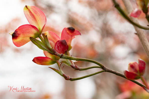Pink Dogwood Blooms Photograph 9181 | Macro Photography | Flower Photography | Koral Martin Fine Art Photography