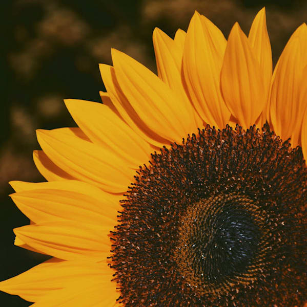 Sunflower Photo Tile - for sale as 4x4 and 6x6-inch ceramic tiles
