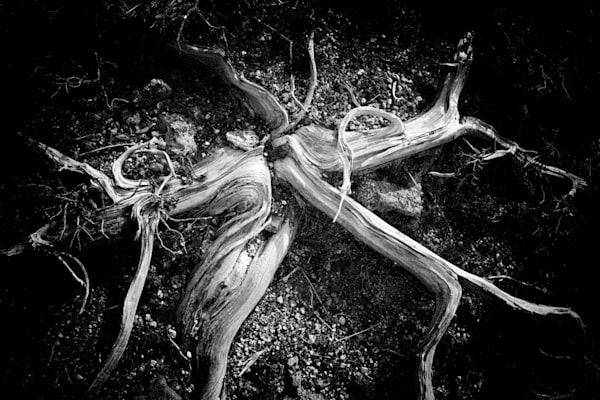 Zimbro #1: A Seastar Photography Art | Roberto Vámos Photography