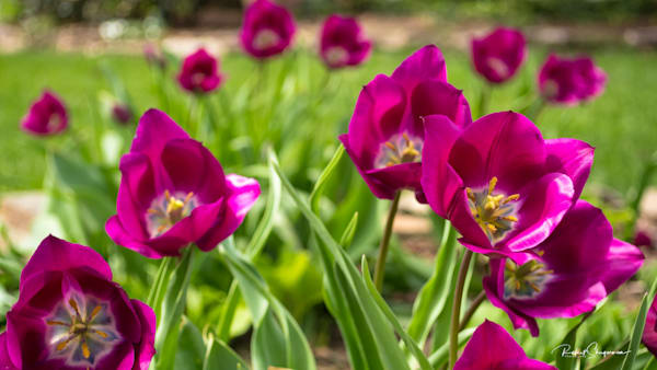Sun Shines on Purple Tulips | Shop Prints | Robert Shugarman Photography
