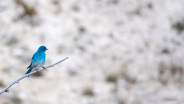 Mountain Bluebird | Shop Prints | Robert Shugarman Photography