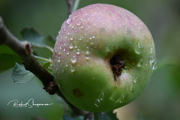 Morning Dew Collects on Apple | Shop Prints | Robert Shugarman Photography
