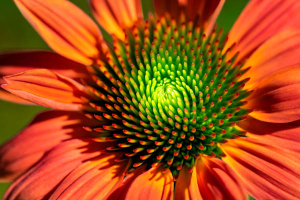 Orange and Lime Coneflower