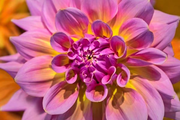 Glowing Pink Dahlia