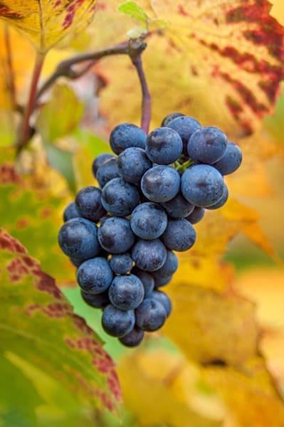 Burgundy Bunch