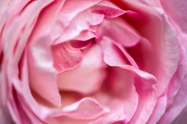USA, Massachusetts, Reading, Pierre de Ronsard rose
