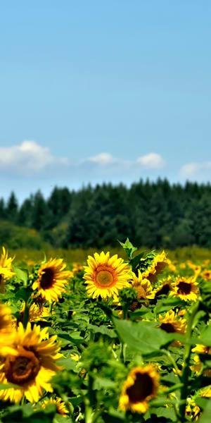 Sunflowers Trees Blue Sky Panel