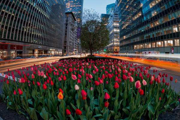 Light trails around tulip display on Park Ave