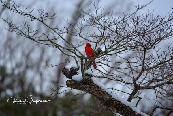 Winter Cardinal | Shop Prints | Robert Shugarman Photography