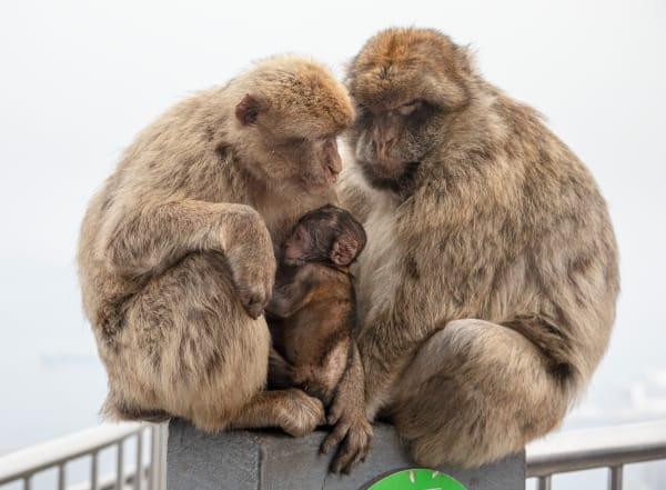 Macaque Nuclear Family Lkn 3743 Photography Art | Leiken Photography