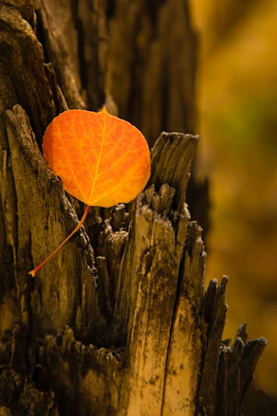 Captured Aspen Leaf Photography Art | Kirk Fry Photography, LLC