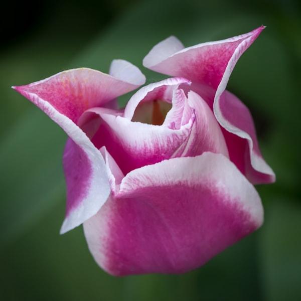 Ballade Tulip Art | Kirk Fry Photography, LLC