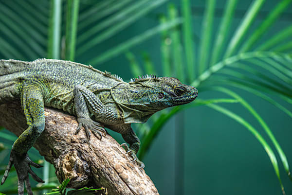 Tropical lizard