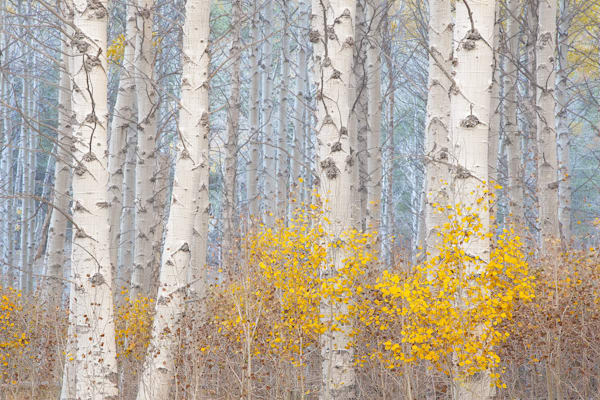 Aspens and the Blue Light by Photographer of the year Charlotte Gibb
