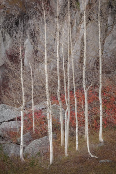 Sentinels, cluster of aspen near Yosemite by Intimate Landscape Photographer Charlotte Gibb