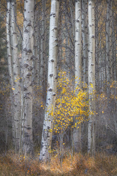 Last Color, The Aspen Grove that became an old friend!