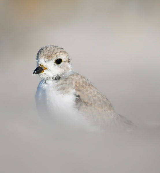 young piping plover copy
