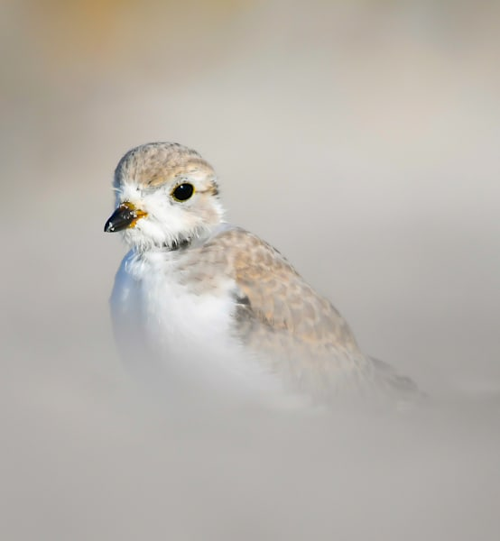 Young Piping Plover Art | Sarah E. Devlin Photography