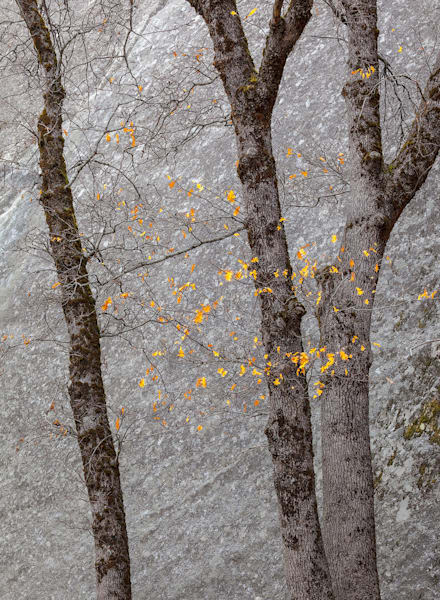 Black Oaks and Granite — Late Autumn | Award-Winning Fine Art Print in Yosemite
