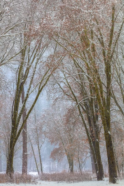 Black Oaks in Snow Storm — Winter | Yosemite Fine Art