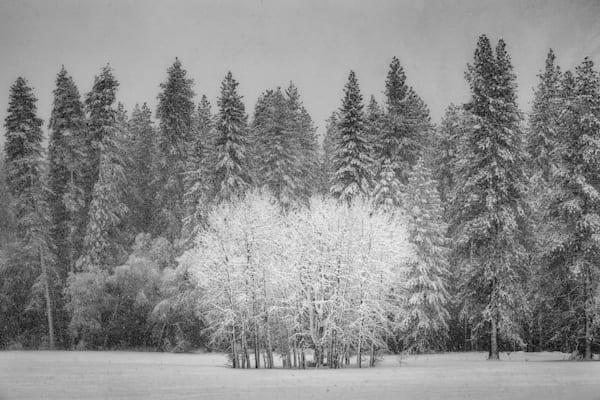 Cottonwoods in Snowstorm