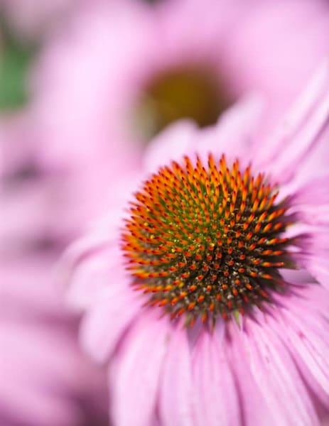 Full bloom Pink Coneflowers - shop fine-art notecards   Closer Views