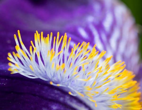 Bearded Iris beard - shop fine-art notecards   Closer Views