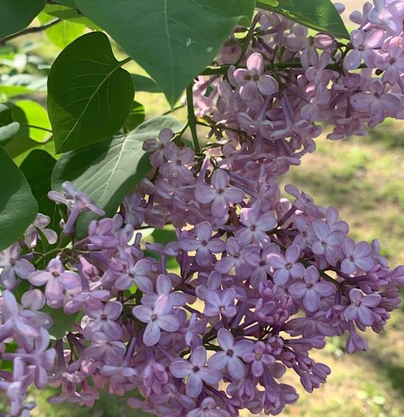 Lilacs Art   Marci Brockmann Author & Artist