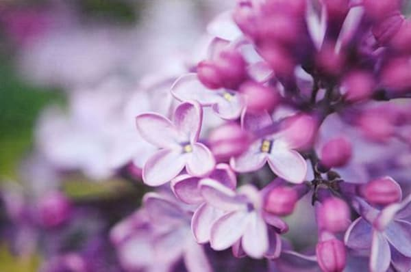 Macro Lilacs Art | Marci Brockmann Author & Artist