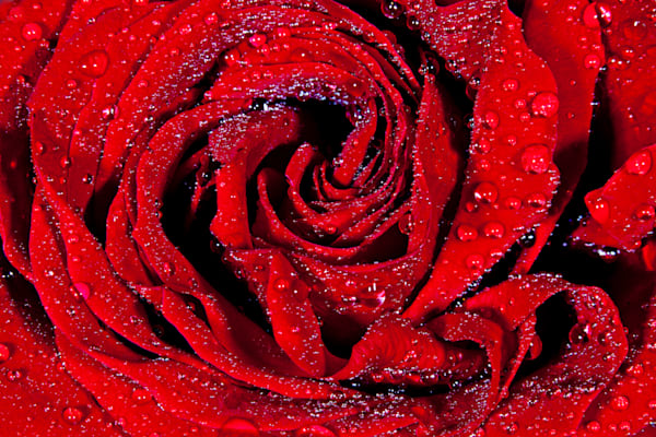 Red Rose - Conceptual Art Print by Christopher Gatelock