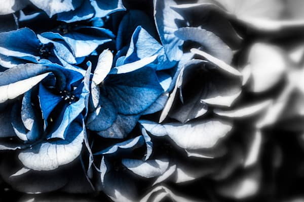 Fading Hydrangea