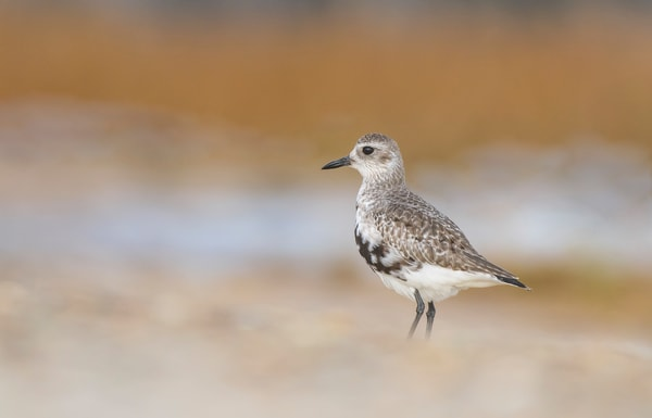 Black Bellied Plover Photography Print