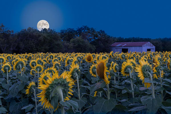 Sunflowers Watching The Moonrise