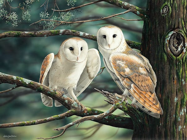 At dusk we fly - Barn Owls Natalie Jane Parker - Australian Native Wildlife