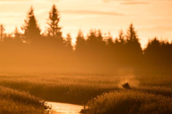 Bearly Sunrise Photography Art | danieldauria