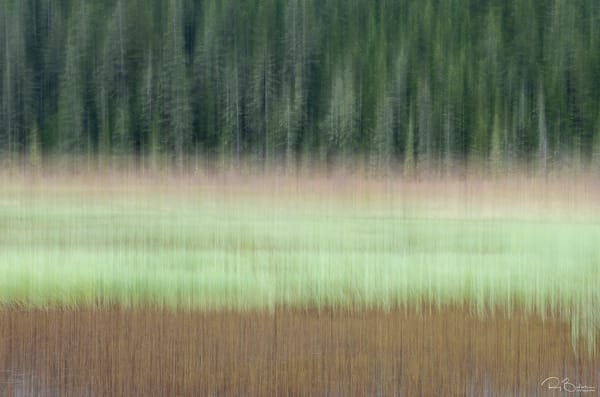 In-camera motion blur of spruce trees along marsh in Copper River Delta in Southcentral Alaska. Spring. Morning.