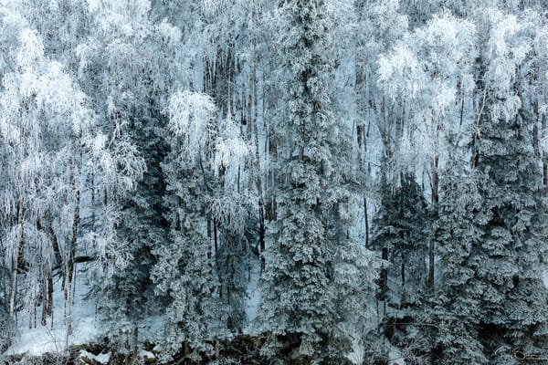 Hoarfrost covers spruce and birch trees along hillside in Southcentral Alaska. Winter. Afternoon.