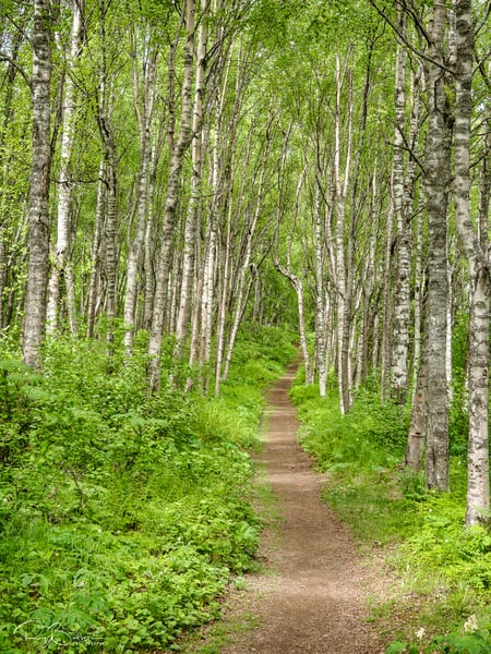 The Gull Rock Trail in the Chugach National Forest near Hope leads through a birch forest in Southcentral Alaska. Spring. Afternoon.