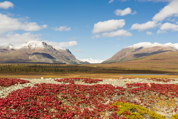 Bearberry leaves in the foreground with Mount Moffit and McGinnis Peak of the Alaska Range seen through Landmark Gap in the background along the Denali Highway in Southcentral Alaska. Autumn. Afternoon.